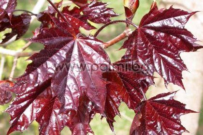 Acer platanoides 'Crimson King', Явор с червени листа