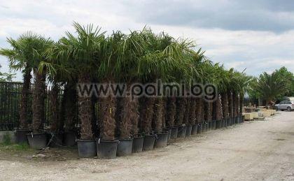 Студоустойчива палма Трахикарпус с около 1.4-1,5 м стъбло