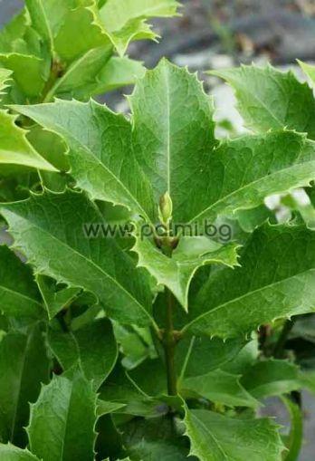 Osmanthus aquifolium, Османтус,