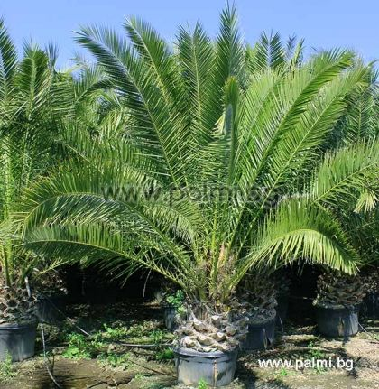Phoenix canariensis, 10 броя пресни семена от Канарска финикова палма от разсадник Палм Център, Ботаническа градина - Пловдив
