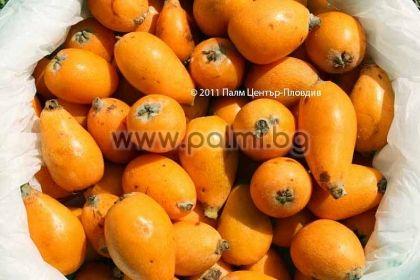 Eriobotrya japonica, 10 свежи семена от Японска мушмула от разсадник Палм Център - Пловдив