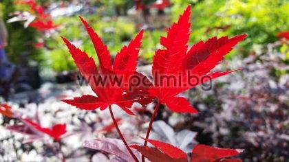 Палмолистен Явор с червени листа, f. BloodGood
