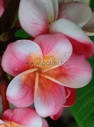 Plumeria rubra cv. Divine, Плумерия, Франджипани