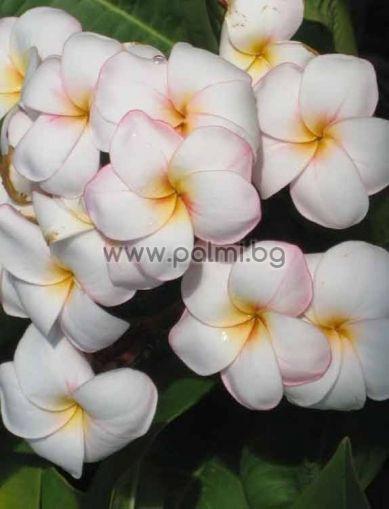 Plumeria rubra cv. Mini White, Плумерия сорт Мини Уайт, Франджипани