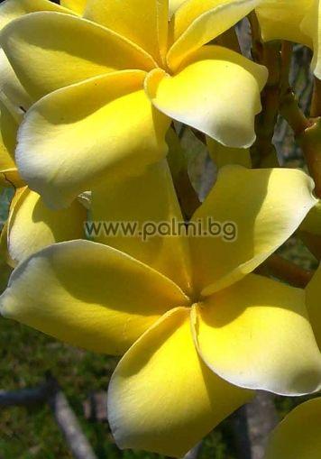 Plumeria rubra cv. Inca Gold, Плумерия сорт Инка Голд, Франджипани