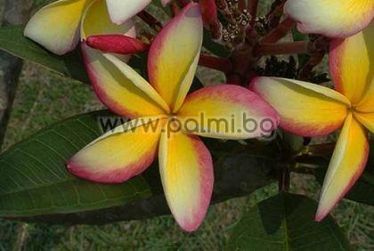 Plumeria rubra cv. Fool's Gold, Плумерия, Франджипани