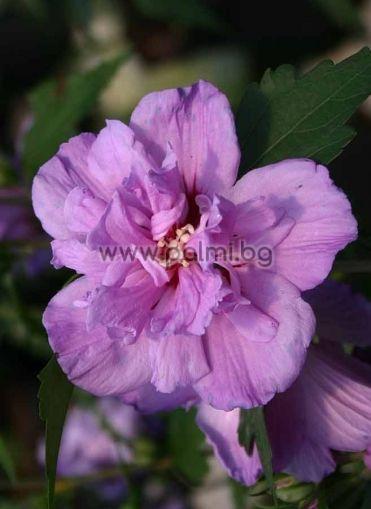 Сирийска роза, форма Ardens