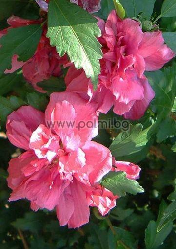 Сирийска роза, форма Roseus Plenus