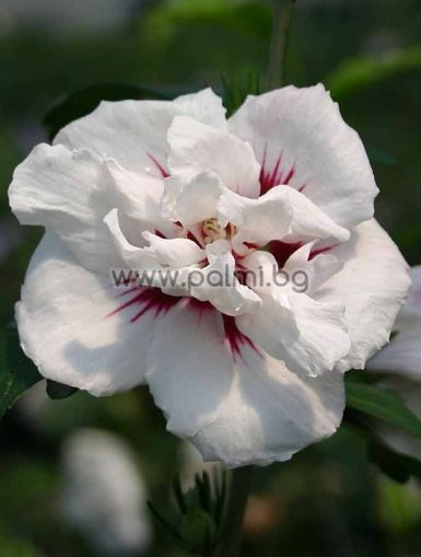 Hibiscus syriacus, Сирийска роза, форма Speciosus