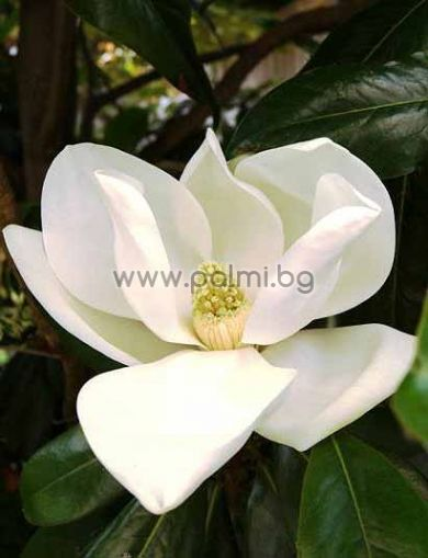 magnolia grandiflora gallisoniensis immergr ne magnolie. Black Bedroom Furniture Sets. Home Design Ideas