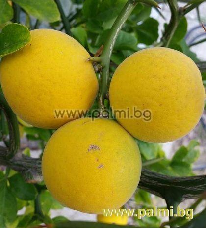 20 семена от Трилистен портокал (Трилистен лимон),  Poncirus trifoliata, var. Monstrosa (Flying Dragon), форма Летящ Дракон  от разсадник Палм Център на Ботаническа градина - Пловдив