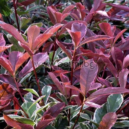 Photinia x fraseri Red Robin variegata, Хибридна Фотиния с пъстри листа от разсадник Палм Център на Ботаническа градина - Пловдив