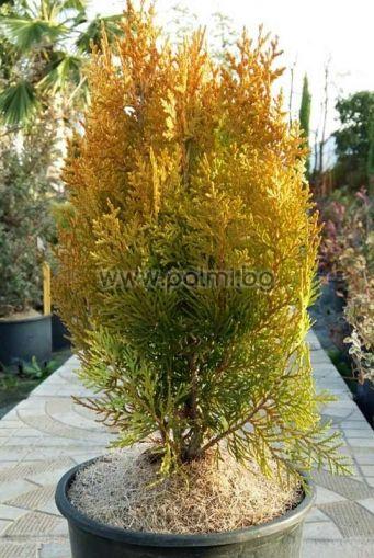 Thuja orientalis Aurea Nana, Компактна златна източна Туя
