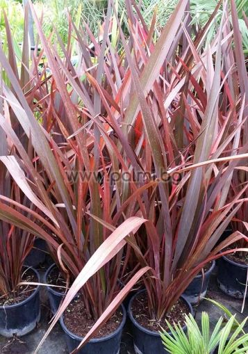 Phormium tenax 'Purpureum', Neuseeländer-Flachs