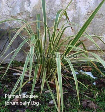 Phormium tenax 'Variegatum', Формиум с пъстри листа (Вариегатен)