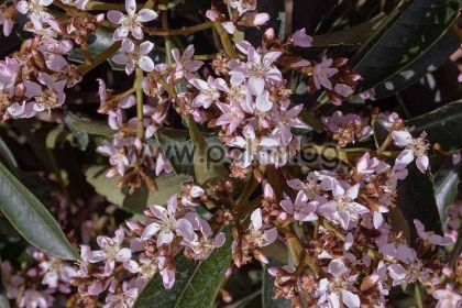 Eriobotrya x 'Coppertone',  Вечнозелена хибридна мушмула
