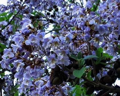 paulownia tomentosa blauglockenbaum. Black Bedroom Furniture Sets. Home Design Ideas