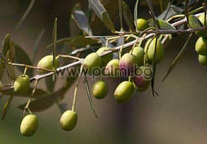 Маслина, студоустойчив сорт Елит-1