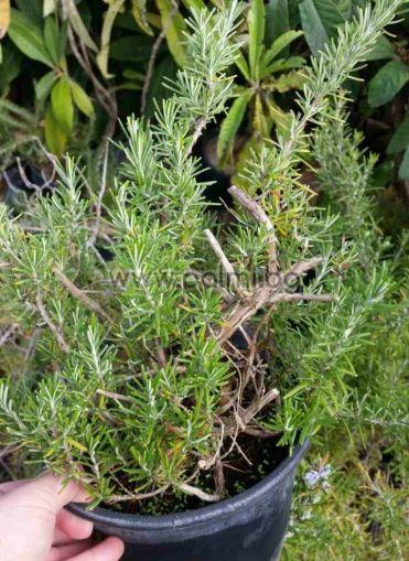 Розмарин, Rosmarinus officinalis 'Prostratus'