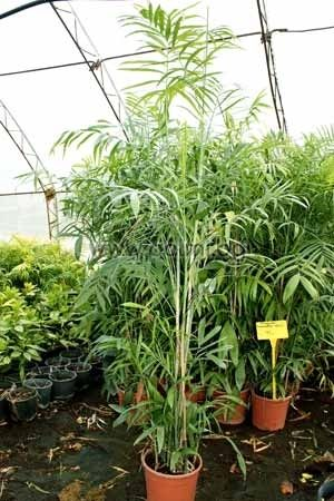 Бамбукова палма, Тръстикова палма