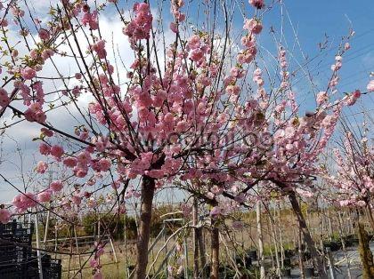 Декоративен бадем с кичести цветове