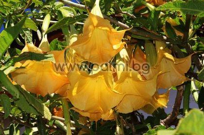Brugmansia arborea, Datura arborea, Жълта Бругманзия, Датура