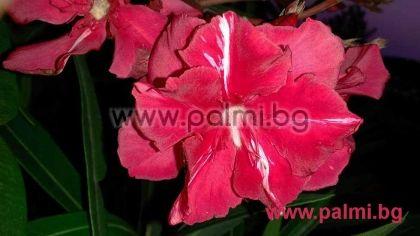 Nerium oleander 'Professeur Granel', Олеандър, червен кичест, ароматен, сорт 'Professeur Granel'