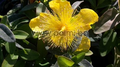 Хиперикум, Звъника, Hypericum calycinum