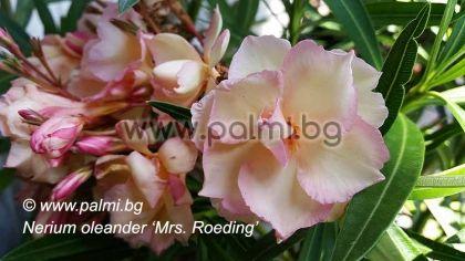 Олеандър, прасковен цвят, сорт Mrs. Roeding