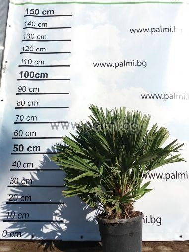 Компактен Хамеропс, Етна (Волкано), 20 семена