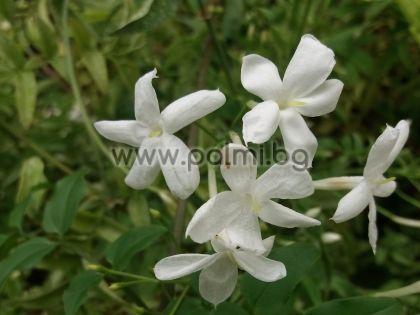 Jasminum officinale, Лекарствен жасмин