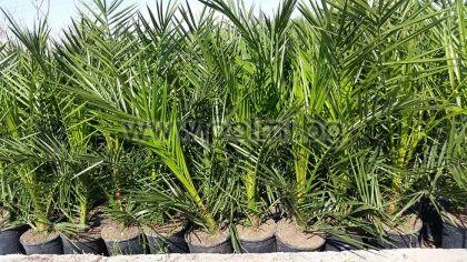 Phoenix canariensis, Канарска финикова палма, вис.70-90 см, саксия №14