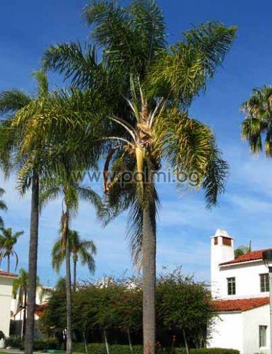 Сиагрус, Кралска палма
