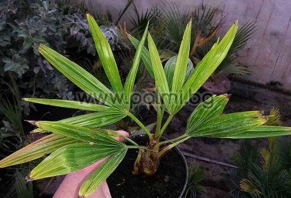 Trachycarpus 'Bulgaria', Легендарните палми Трахикарпус