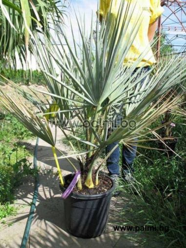 Брахея, Мексиканска Синя Палма в 10 литрова саксия