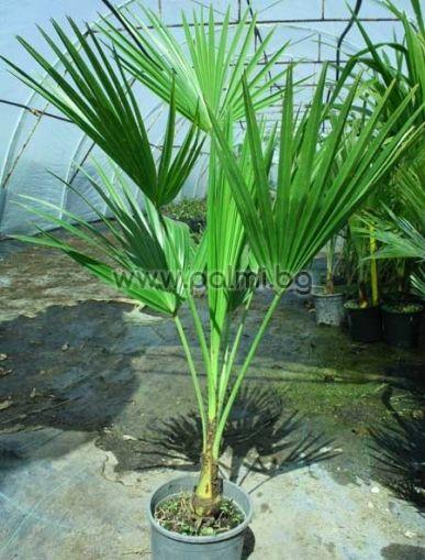 Брахея, Гваделупска Палма