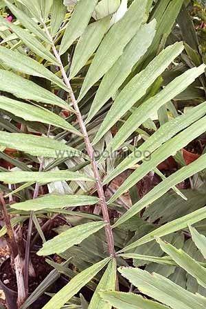 Палма Аренга, Миниатюрна захарна палма