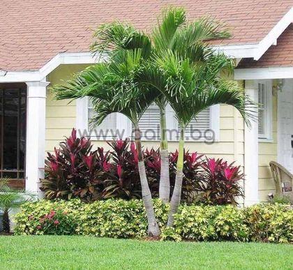 Вейчия, палма Манила