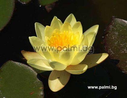 Жълта Водна Лилия