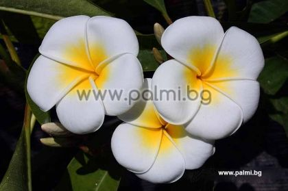 57. Плумерия acutifolia 'Palermitana', бяла Франджипани