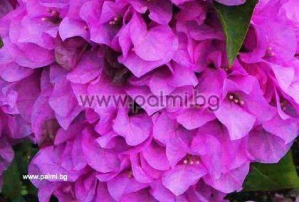 Бугенвилея, лилава, сорт 'Magnifica Dry'