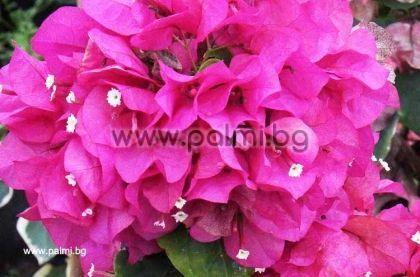 Бугенвилея, розова, сорт 'Lady Mary'