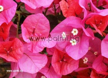 Бугенвилея, розово-оранжева, сорт 'Poultonii'