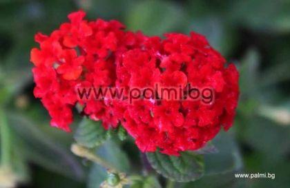 Лантана (червена)