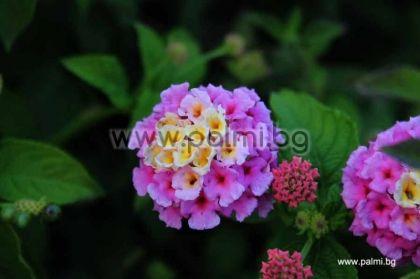 Лантана (розово, жълто, бяло)