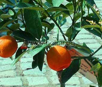 Каламондин, Декоративна мандарина