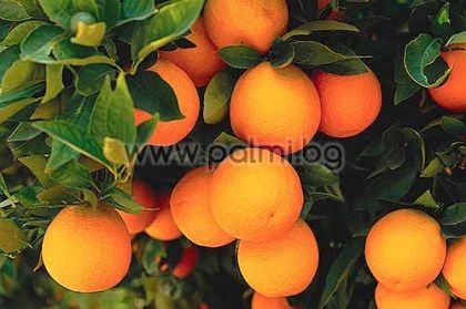 Портокал сорт Валенсия