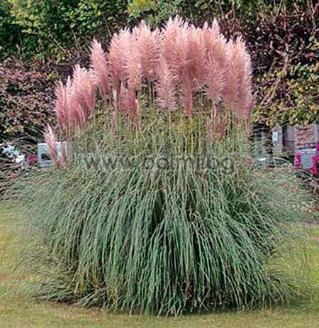 cortaderia selloana rosea gynerium purpureum. Black Bedroom Furniture Sets. Home Design Ideas