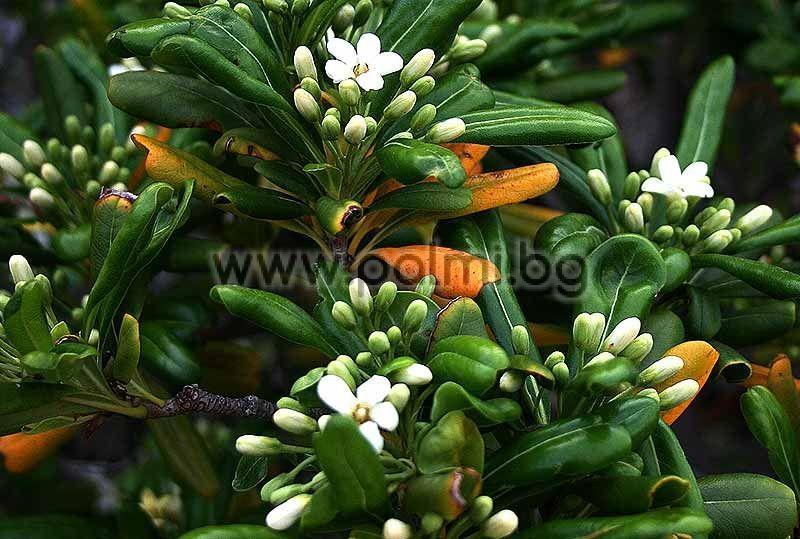New Truck Prices >> Pittosporum tobira nana, Compact Japanese Mock-Orange