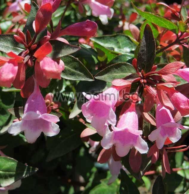 abelia grandiflora abelie rosa. Black Bedroom Furniture Sets. Home Design Ideas